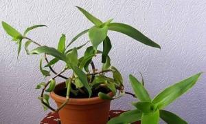 უნიკალური სამკურნალო თვისებების მქონე მცენარე («ოჯახის ექიმი»). მოხმარება. რეცეპტები