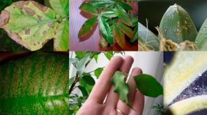 ოთახის მცენარეების ყველაზე გავრცელებული დაავადებები და მკურნალობის გზები