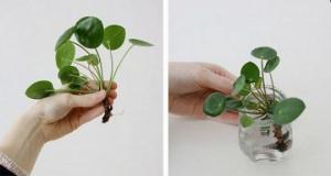 მცენარე, რომელიც გიცავთ ავი თვალისგან, იზიდავს ფულს და კურნავს უამრავ დაავადებას
