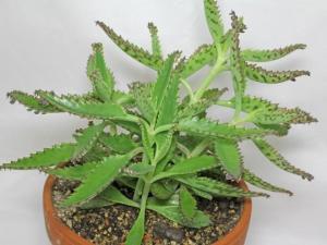მცენარე, რომელიც წამებში   კურნავს ღრმა ჭრილობებს, ებრძვის სიმსივნეს და აღადგენს დაზიანებულ ქსოვილებს