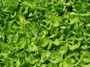 თუ თქვენ ხშირად მიირთმევთ ამ მცენარეს, მაშინ აუცილებლად უნდა იცოდეთ მისი გამოყენების წესები