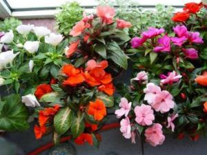 ოთახის მცენარეს ხშირი და ლამაზი ყვავილობა რომ ჰქონდეს...