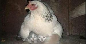 ქათამმა და კატამ ადგილები გაცვალეს - ახლა ისინი ზრუნავენ საკუთარი შთამომავლების გაზრდაზე!