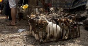ჩინეთში საბოლოოდ აიკრძალა ძაღლების საკვებად გამოყენება