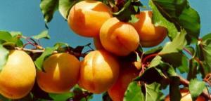 გარგარი - ეს აუცილებლად უნდა იცოდეთ, ხილის ამ სახეობის შესახებ!