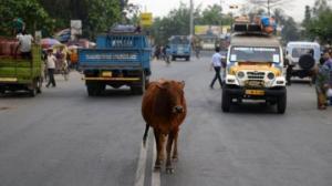 რატომ არის ძროხა განსაკუთრებული ცხოველი ინდოეთში?