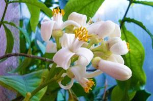 მარადიული ახალგაზრდობის და სილამაზის სიმბოლო. მცენარე, რომელიც ყველას უნდა ჰქონდეს სახლში