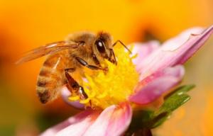 ფუტკრების გადაშენება კაცობრიობის აღსასრულს გვაახლოვებს