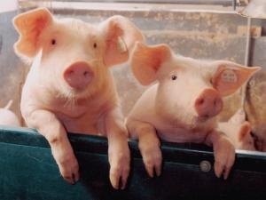 რატომ არ  ჭამენ ებრაელები  და მუსულმანები  ღორის  ხორცს?