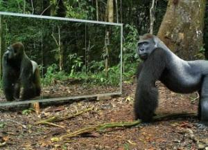 ჯუნგლებში დადგმული სარკე და ცხოველების რეაქცია