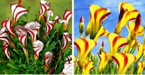 ლამაზი და უცნაური ყვავილები (ყვავილი, რომელიც მღრღნელებით იკვებება)
