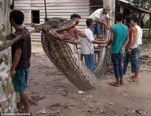 ინდონეზიაში მამაკაცმა მძიმე ბრძოლის შემდეგ 7 მეტრიანი პითონი მოკლა