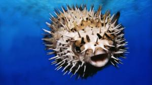 თევზი ფუგუ - ერთერთი ყველლაზე შხამიანი და უცნაური არსება დედამიწაზე