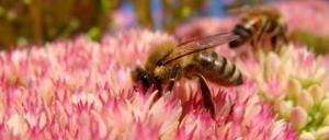 ბუზი  და ფუტკარი ორივე მწერია, მაგრამ, ერთი ნეხვს ამჩნევს და მეორე ყვავილებს!