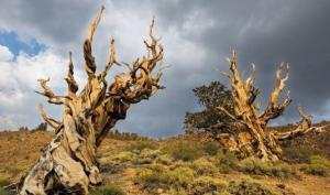 მსოფლიოს უძველესი და ისტორიულად ყველაზე  მნიშვნელოვანი ხეები ( + ბევრი ფოტო )