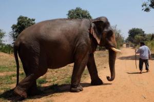ტაილანდში სპილომ ადამიანი იმსხვერპლა