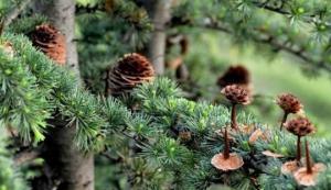 რამდენიმე  ფაქტი  წიწვოვანი  ხეების  სასარგებლო თვისებების  შესახებ
