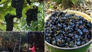 როგორი ღვინო დგება იშვიათი იმერული ვაზის ჯიშის - ოცხანური საფერესაგან და სად ხარობს ეს ჯიში