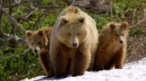 რაზე ნადირობდნენ ყველაზე დიდი დათვები  და როდის გადაშენდნენ ისინი?