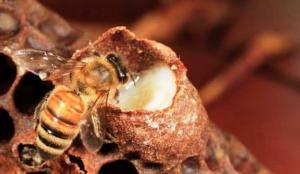 """რატომ უწოდეს ფუტკრის რძეს """"სამეფო ჟელე"""" და რა დაავადებებს კურნავს ის"""