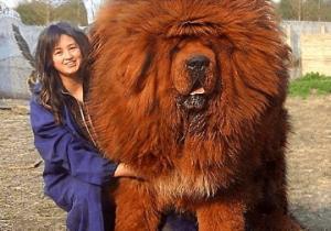 """მსოფლიოში ყველაზე ძვირადღირებული ძაღლი """"ტიბეტური მასტიფი"""""""