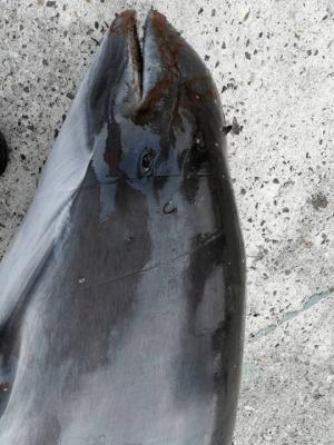 ზღვამ გამორიყა მკვდარი ძუძუმწოვარი , რომელიც წითელ წიგნშია შეტანილი