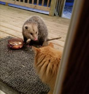 მან ოპუსუმს მაშინ შეუსწრო, როცა იგი მის საჭმელს მიირთმევდა - ნახეთ, როგორია  კატის რეაქცია ( + ფოტოები)