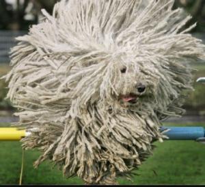 კომანდორი-ძაღლი, რომელიც გაგაოცებთ თავისი უცნაური გარეგნობით