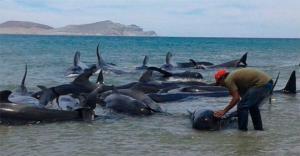 ოკეანემ 150 შავი დელფინი გამორიყა
