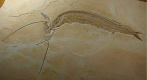 აღმოჩენილია 155 მილიონი წლის წინანდელი მტაცებლის ჩონჩხი