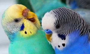 ყველაფერი ტალღოვანი თუთიყუშების შესახებ