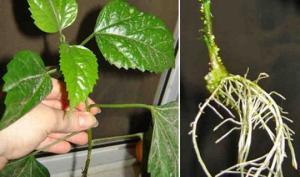 ზრდის სტიმულატორი მცენარეების და რთულად დასაფესვიანებელი კალმებისთვის (4 რეცეპტი და არანაირი ქიმია)