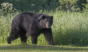 ამერიკაში დათვი  გოგონას ტყეში გატაცებას ცდილობდა