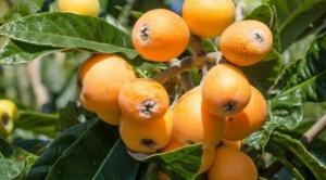ივნისში ეს ხილი აუცილებლად უნდა მიირთვათ - მუშმალას ჯადოსნური თვისებები!