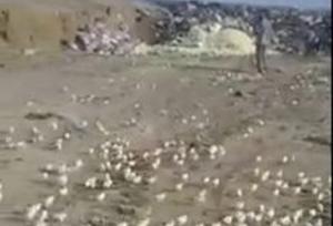 მარნეულის მეფრინველეობის ფერმიდან სანაგვეზე გადაყრილი კვერცხებიდან   წიწილები გამოიჩეკა და მოსახლეობამ წაიყვანა