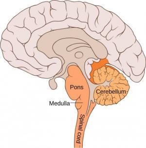 ვაროლის ხიდი - თავის ტვინის უძველესი, მომცრო ნაწილი, რომელიც უმთავრეს ფუნქციებს ასრულებს