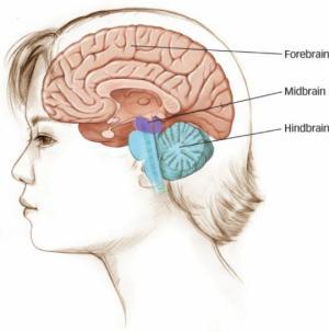 შუა ტვინი (მეზენცეფალონი) და მისი ფუნქციები