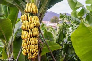 ბანანი, როგორც დამანგრეველი ტროპიკული დაავადებების შემცველი ხილი
