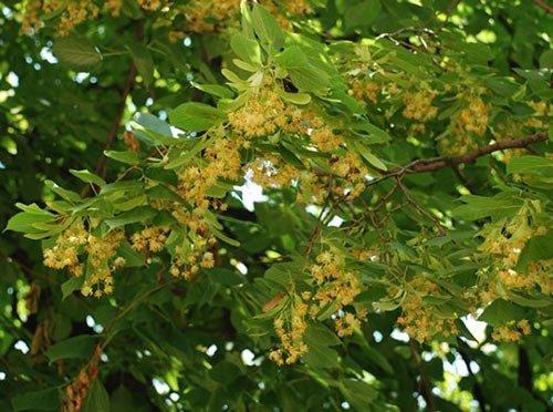 ცაცხვი, უნიკალური მცენარე, რომელსაც უამრავი სასარგებლო თვისება გააჩნია