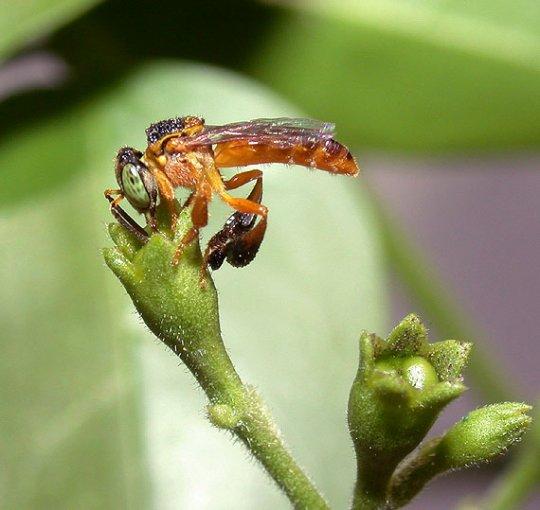 სამხრეთ ამერიკული უნესტრო ფუტკარი.