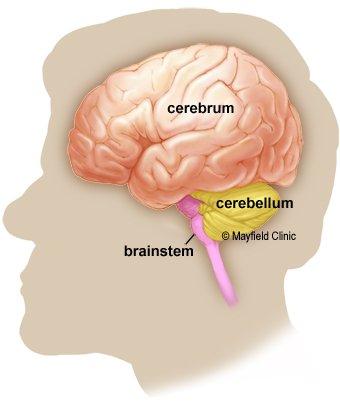 ტვინის სამი მთავარი ნაწილი