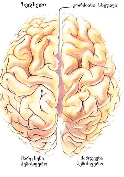მარჯვენა და მარცხენა ჰემისფეროები