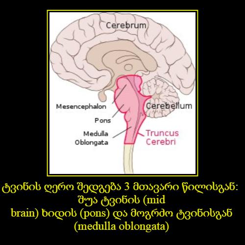 ტვინის ღერო