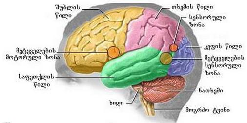 თავის ტვინის წილები