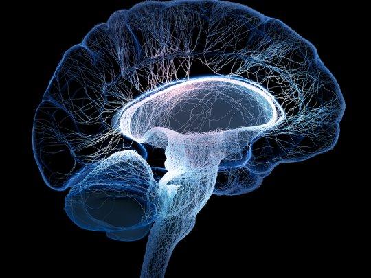 ადამიანის თავის ტვინის ანატომია