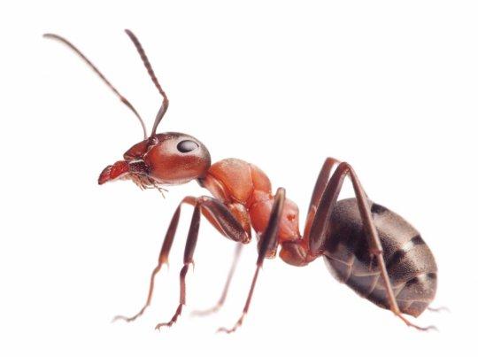 ჭიანჭველა