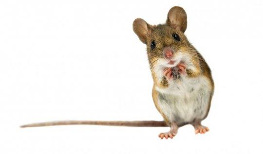 სახლის თაგვი
