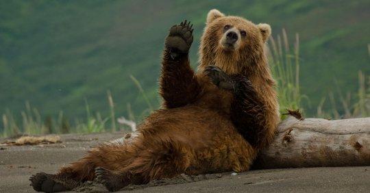 მურა დათვი