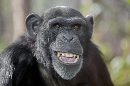 შიმპანზე