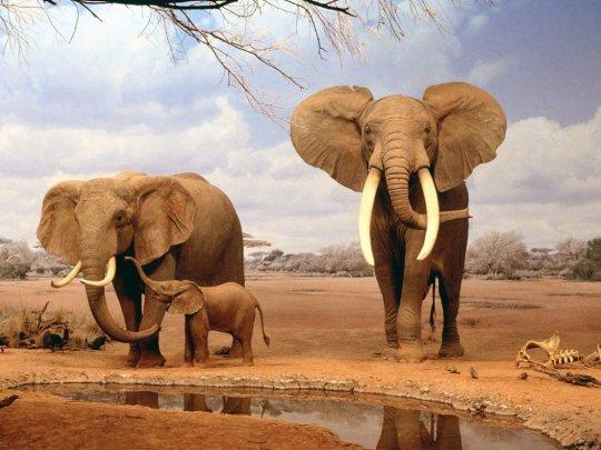 აფრიკული სპილო